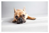 Sad Frenchie Fine Art Print