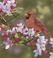 Cardinal with Apple Blossoms Fine Art Print