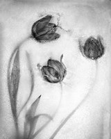 Tulipanes Rojos-2 Fine Art Print