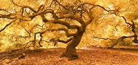 Japanese Maple 2 Fine Art Print