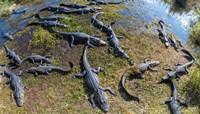 Alligators along the Anhinga Trail, Everglades National Park, Florida, USA Fine Art Print