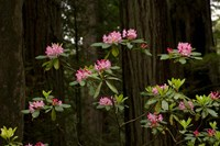 Rhododendron Flowers and Redwood Trees in a Forest, Del Norte Coast Redwoods State Park, Del Norte County, California, USA Fine Art Print