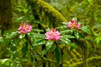 Rhododendron flowers in a forest, Jedediah Smith Redwoods State Park, Crescent City, Del Norte County, California, USA Fine Art Print