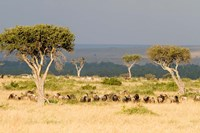 Masai Mara National Reserve, Kenya Fine Art Print