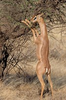 Male gerenuk (Litocranius waller) eating leaves, Samburu National Park, Rift Valley Province, Kenya Fine Art Print