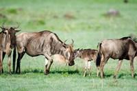 Wildebeest, Ndutu, Ngorongoro, Tanzania Fine Art Print