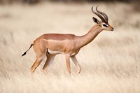 Male gerenuk (Litocranius walleri) standing in field, Samburu National Park, Rift Valley Province, Kenya Fine Art Print