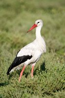 White stork (Ciconia ciconia) in a field, Ngorongoro Crater, Ngorongoro, Tanzania Fine Art Print