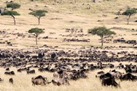 Great migration of wildebeests, Masai Mara National Reserve, Kenya Fine Art Print