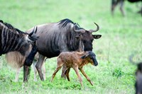 Newborn Wildebeest Calf with its Parents, Ndutu, Ngorongoro, Tanzania Fine Art Print