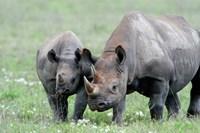 Black rhinoceros (Diceros bicornis) in a field, Ngorongoro Crater, Ngorongoro, Tanzania Fine Art Print