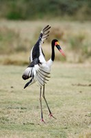Saddle Billed stork (Ephippiorhynchus Senegalensis) spreading wings, Tarangire National Park, Tanzania Fine Art Print