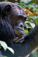 Chimpanzee, Kibale National Park, Uganda Fine Art Print