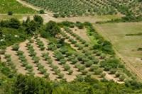 Olive trees in field, Les Baux-de-Provence, Bouches-Du-Rhone, Provence-Alpes-Cote d'Azur, France Fine Art Print