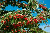 Cherries to be Harvested, Cucuron, Vaucluse, Provence-Alpes-Cote d'Azur, France (horizontal) Fine Art Print