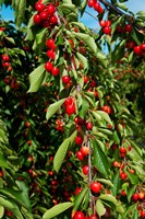 Cherries to be Harvested, Cucuron, Vaucluse, Provence-Alpes-Cote d'Azur, France (vertical) Fine Art Print