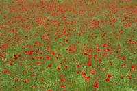 Poppy Field in Bloom, Les Gres, Sault, Vaucluse, Provence-Alpes-Cote d'Azur, France (horizontal) Fine Art Print