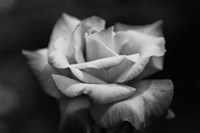 Close-up of a rose, Los Angeles County, California, USA Fine Art Print