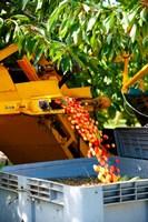 Harvesting Cherries, Cucuron, Vaucluse, Provence-Alpes-Cote d'Azur, France Fine Art Print