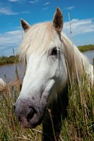 Close up of White Camargue Horse, Camargue, Saintes-Maries-De-La-Mer, Provence-Alpes-Cote d'Azur, France Fine Art Print