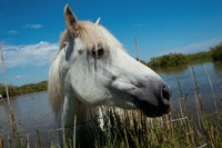 White Camargue Horse with Head over Fence, Camargue, Saintes-Maries-De-La-Mer, Provence-Alpes-Cote d'Azur, France Fine Art Print