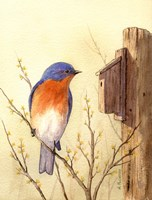 Bluebird II Framed Print
