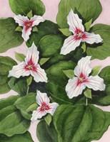 Painted Trillium Fine Art Print