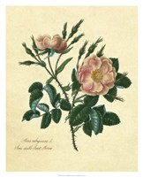 Sweet Briar Rose Fine Art Print