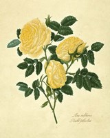 Double Yellow Rose Fine Art Print