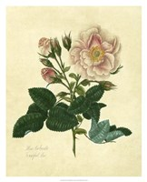 Frankfort Rose Fine Art Print
