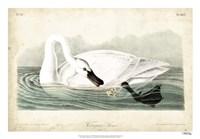 Trumpeter Swan I Framed Print