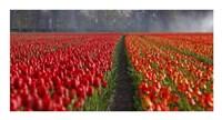 Dutch Tulip Field Fine Art Print