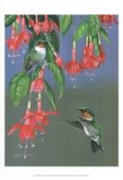 Hummers & Fuchsia Fine Art Print