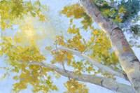 Aspen Canopy Fine Art Print