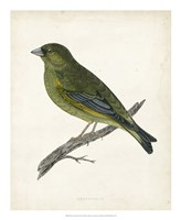 Greenfinch Fine Art Print
