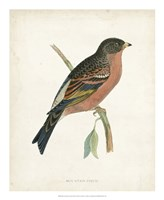 Mountain Finch Fine Art Print