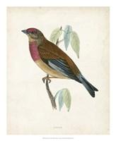 Linnet Fine Art Print