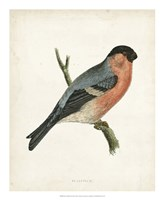 Bullfinch Fine Art Print