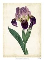 Curtis Iris IV Fine Art Print