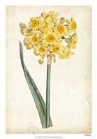 Curtis Narcissus I Fine Art Print