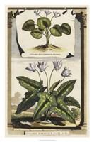 Cyclamen Flore I Fine Art Print
