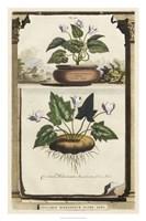 Cyclamen Flore II Fine Art Print