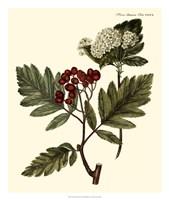 The Hawthorne Tree Fine Art Print