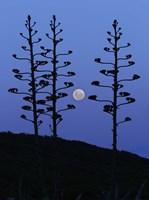 The moon rising between agave trees, Miramar, Argentina Fine Art Print