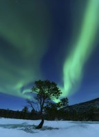 Aurora Borealis Over a Tree Troms, Norway Fine Art Print