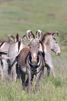 Grevy's Zebra, Kenya Fine Art Print