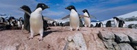 Adelie Penguins With Young Chicks, Lemaire Channel, Petermann Island, Antarctica Fine Art Print