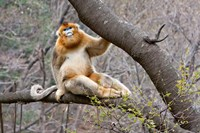 Golden Monkey, Qinling Mountains, China Fine Art Print