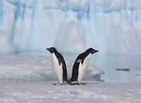 Two Adelie Penguins, Antartica Fine Art Print