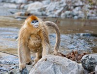 Female Golden Monkey, Qinling Mountains, China Fine Art Print